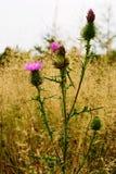 Usine de floraison de chardon plumeless épineux sur le pré d'automne La prairie de chute avec des fleurs d'acanthoides de Carduus Image libre de droits