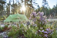 Usine de floraison sur le premier plan et une tente touristique sur le fond brouillé Image libre de droits