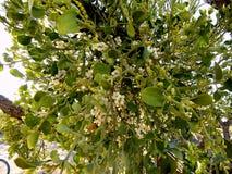 Usine de floraison de Texas Mistletoe dans l'arbre de mesquite photos stock