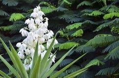 Usine de floraison de yucca sur un fond tropical vert de feuilles Arbre de baïonnette espagnole Joshua Tree Aloifolia de yucca images libres de droits