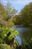 Usine de Gunnera par une rive Photographie stock