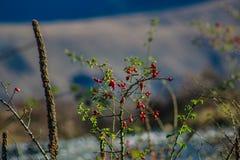 Usine de hanche de Rose devant le fond brouillé de montagne, lacs secteur, Nouvelle-Zélande Ashburton image stock
