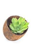 Usine de Houseleek (sempervivum) dans le pot de noix de coco Photographie stock libre de droits