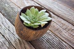 Usine de Houseleek (sempervivum) dans le pot de noix de coco Images libres de droits