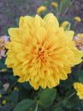 Usine de jardin d'agrément de rose de jaune Image stock