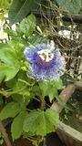 Usine de jardins naturelle de fleurs de roses Photos stock