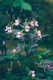 Usine de l'Himalaya de baume dans la pleine fleur, Finlande Photos libres de droits