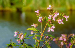 Usine de l'Himalaya fleurissante rose de baume sur le bord de mer Photo stock