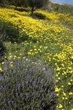 Usine de lavande dans le domaine des marguerites jaunes sauvages Photo stock
