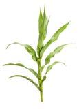 Usine de maïs images stock