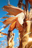 Usine de maïs mûre d'or Photo stock