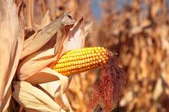 Usine de maïs mûre d'or Images stock
