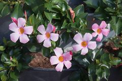 Usine de Mandevilla avec les fleurs roses image stock