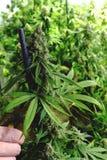 Usine de marijuana d'intérieur de bourgeonnement mûre étant équilibrée pour la récolte Images stock