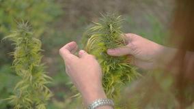 Usine de marijuana du cru clips vidéos