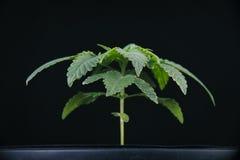 Usine de marijuana sur le noir Images stock