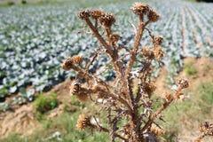 Usine de mauvaise herbe et cultures agricoles en été Mauvaise herbe sèche d'épine sur le champ ensoleillé de ferme Usines croissa Photos stock