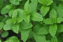 Usine de menthe verte - spicata de Mentha Photographie stock libre de droits