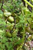 Usine de Monkeycup et x28 ; GEN ; Nepenthes& x29 ; Photo stock