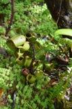 Usine de Monkeycup et x28 ; GEN ; Nepenthes& x29 ; Photo libre de droits