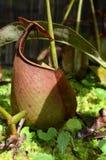 Usine de Monkeycup (GEN ; Nepenthes) Image libre de droits