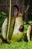 Usine de Monkeycup (GEN ; Nepenthes) Photo stock