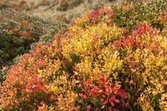 Usine de myrtille en automne Photo stock