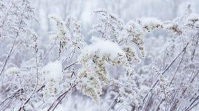 Usine de neige pelucheuse et sèche Images stock