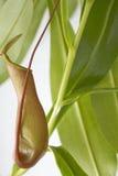 Usine de Nepenthes Images libres de droits