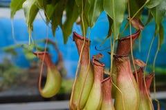 Usine de Nepenthes Usine intéressante d'attrape-mouche Image libre de droits