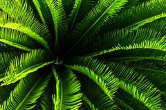 Usine de palmier de jungle avec les feuilles vertes et transitoires avec le modèle gentil photo libre de droits