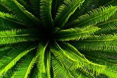 Usine de palmier de jungle avec les feuilles vertes et transitoires avec le modèle gentil image stock
