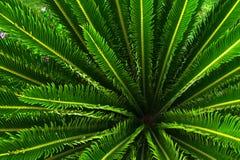 Usine de palmier de jungle avec les feuilles vertes et transitoires avec le modèle gentil images stock