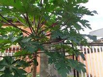 Usine de papaye de dame rose par le côté de barrière d'entrée photo libre de droits