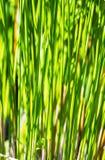 Usine de papyrus Image libre de droits