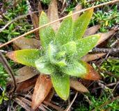Usine de Paramo avec les feuilles vertes et d'orange Image stock