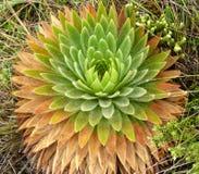 Usine de Paramo avec les feuilles vertes et d'orange Photographie stock
