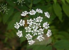 Usine de parapluie d'Apiaceae 1 image libre de droits