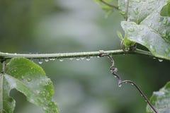 Usine de passiflore comestible de passiflore avec la baisse de pluie Photographie stock libre de droits