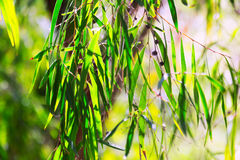Usine de pepermint de saule au printemps image stock