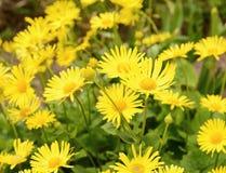 Usine de Plantagineum de Doronicum Photos stock