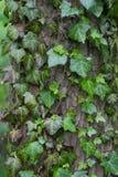 Usine de plante grimpante Image stock