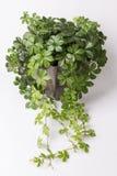 Usine de plante grimpante dans le pot de fleur Images libres de droits