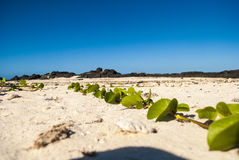 Usine de plante grimpante sur la plage sablonneuse Image libre de droits