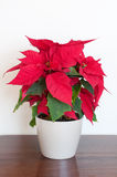 Usine de poinsettia Photographie stock