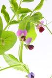 Usine de pois avec des fleurs Photo libre de droits