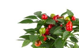 Usine de poivre de piment d'un rouge ardent Photographie stock libre de droits