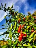 Usine de poivre de piment avec le ciel sur le fond Photo libre de droits