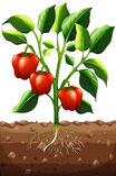 Usine de poivron à la ferme Images stock