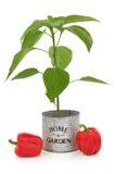 Usine de poivron rouge photos stock
